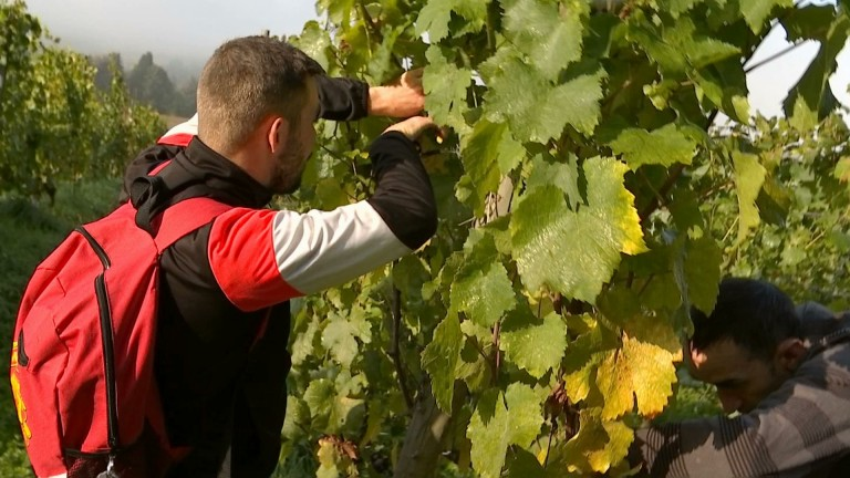 Torgny : des vendanges mi figue mi raisin