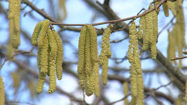 Allergies : forte concentration de pollen de noisetier