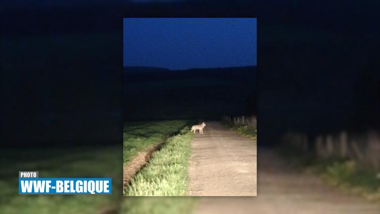 Léglise : un loup observé à Ebly