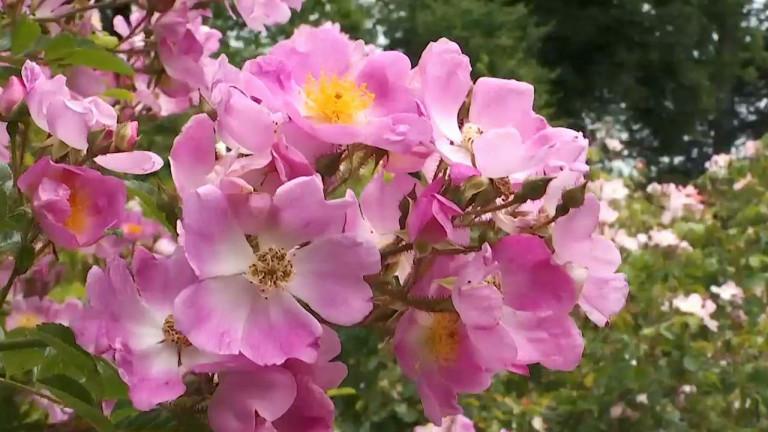 Des roses et des arbres dans le jardin de Remagne