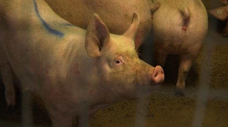 Les élevages porcins de retour en Gaume