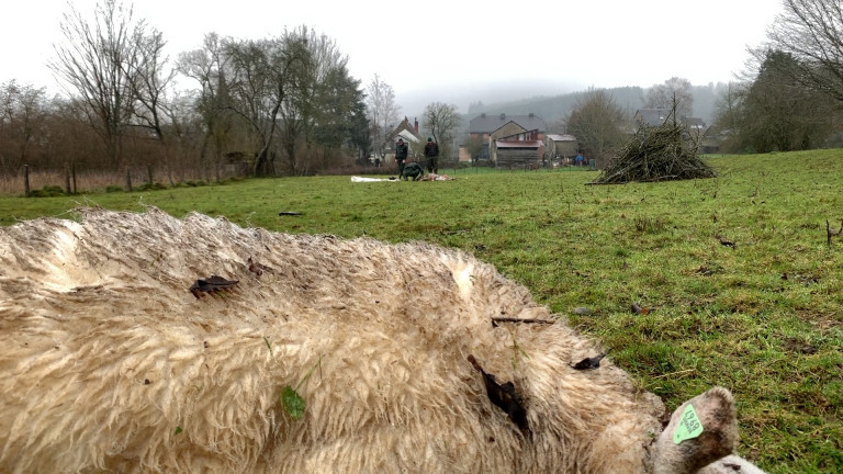 Trois troupeaux de moutons attaqués en quatre jours