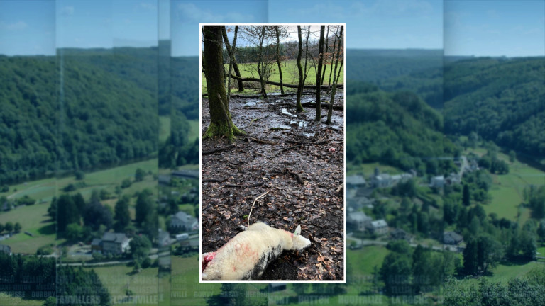Moutons égorgés à Ochamps : c'était bien un loup