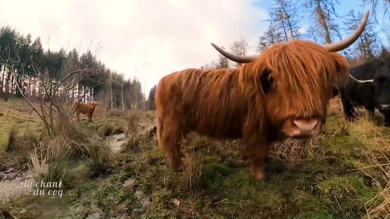 Au Chant du Coq: un élevage de highlands à Bertrix
