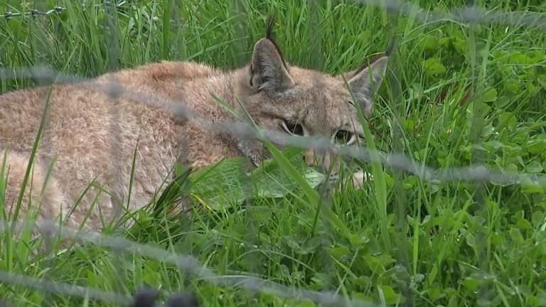 3 jeunes lynx au parc à gibier de La Roche