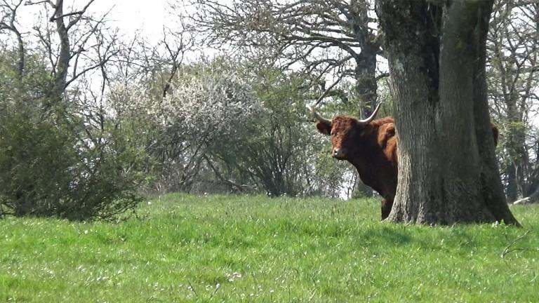 Florenville : 46 vaches salers volées à Martué