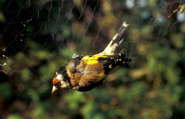 Rulles : 2 personnes interpellées pour capture illégale d'oiseaux